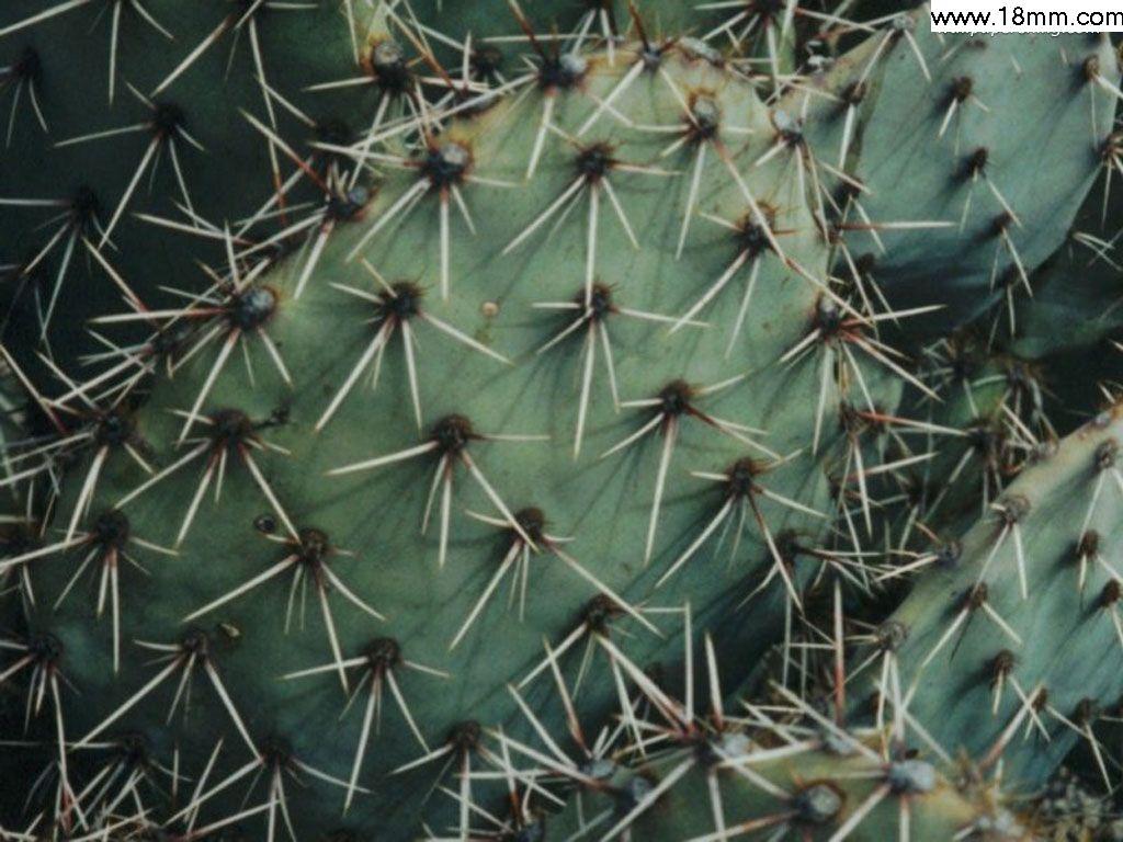 Cactus Extract