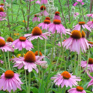 Echinacea Purpurea Extract powder